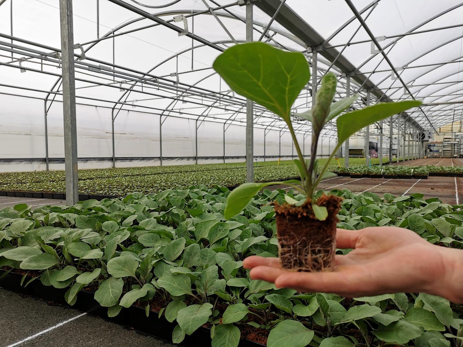 Plant d'aubergine avec terreau sans tourbe
