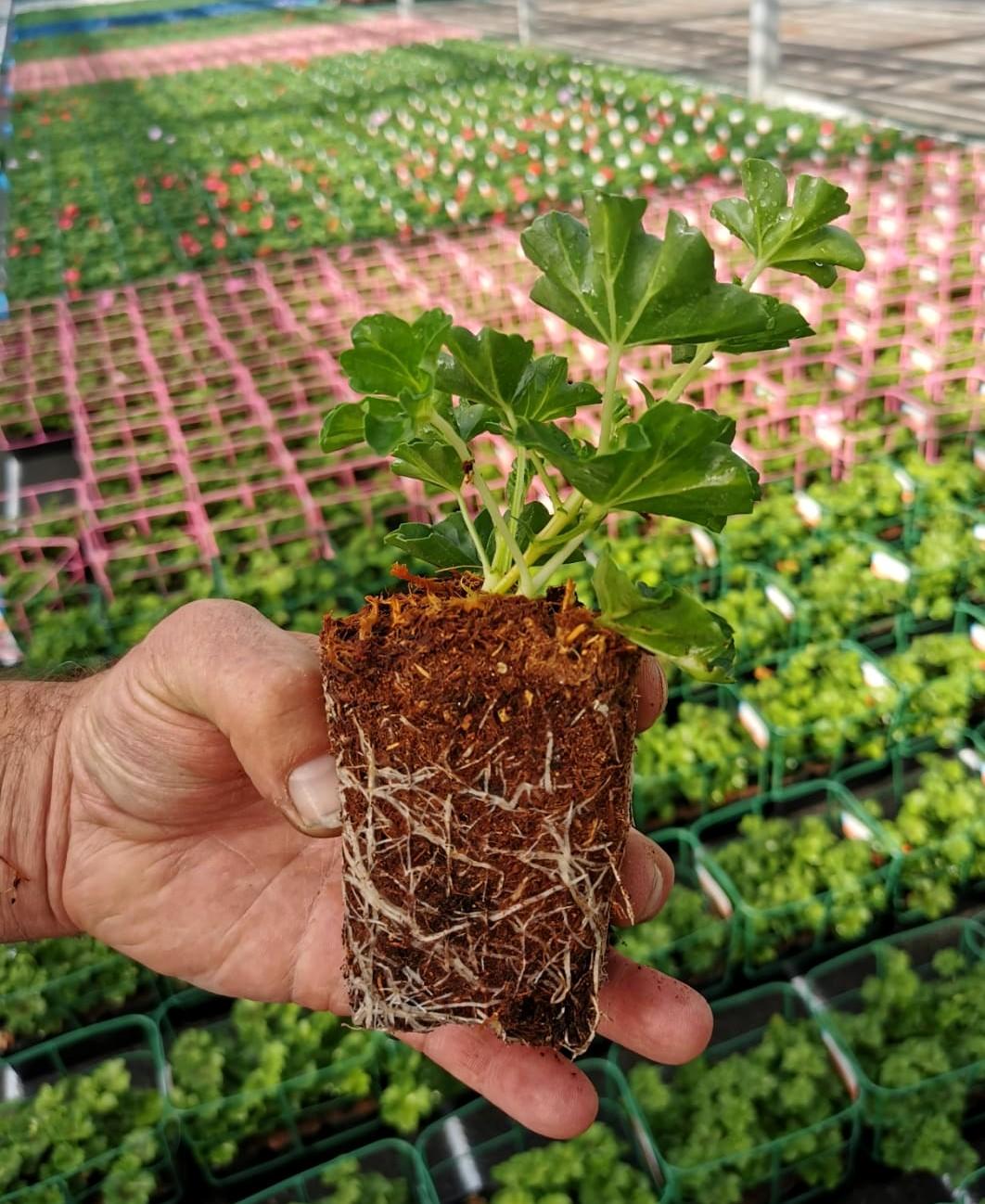Plant de géranium avec terreau sans tourbe
